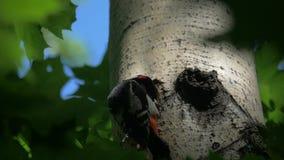 Den nyanserade hackspetten matar en fågelunge lager videofilmer