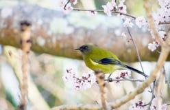 Den nyazeeländska bellbirden royaltyfri foto