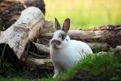 Den nyazeeländska vita kaninen vid något loggar Arkivbild