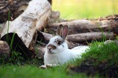 Den nyazeeländska vita kaninen vid något loggar Arkivfoton