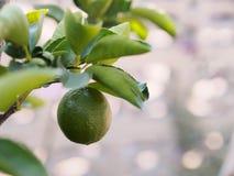 Den nyckel- limefrukten på träd Fotografering för Bildbyråer