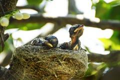 Den nyfödda australiern Willy Wagtail behandla som ett barn fåglar i rede royaltyfri fotografi