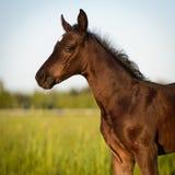 Den nyfödda hästen behandla som ett barn, det walesiska ponnyfölet Arkivfoto