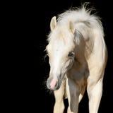 Den nyfödda hästen behandla som ett barn, det walesiska ponnyfölet som isoleras på svart Arkivfoto