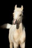 Den nyfödda hästen behandla som ett barn, det walesiska ponnyfölet som isoleras på svart Arkivbilder