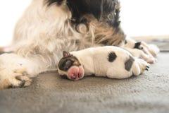 Den nyfödda hunden behandla som ett barn sover framme av hennes mamma och hennes syskon valp en gammal dag - stålarrussell terrie royaltyfria bilder