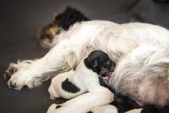 Den nyfödda hunden behandla som ett barn - valpen är en gammal dag - stålar mer terrrier russell royaltyfri bild
