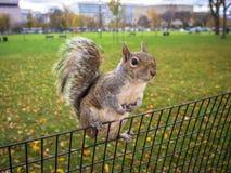 Den nyfikna ekorren som hänger på, parkerar staket Arkivfoto