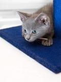 den nyfikna gråa kattungepouncen förbereder sig till Arkivfoton