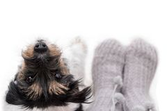 Den nyfikna lilla Jack Russell Terrier vovven ser gullig, medan stå bredvid hans ägare royaltyfria bilder