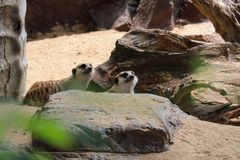 Den nyfikna Meerkatsen Arkivbild