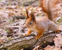Den nyfikna röda ekorren på inloggning parkerar Royaltyfria Bilder
