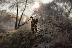 Den nyfikna valpen går på dentäckte flodstranden Arkivfoton