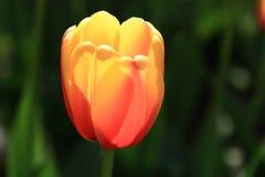 Den och endast den härliga tulpan royaltyfria foton