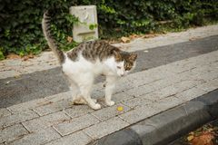 Den ogiltiga katten med amputerat tafsar Arkivbilder