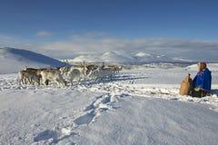 Den oidentifierade Saami mannen kommer med mat till renar i den djupa snövintern, den Tromso regionen, nordliga Norge Royaltyfri Foto
