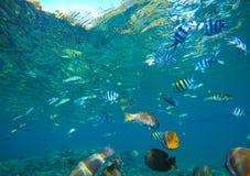 Den olika korallreven fiskar i blått vatten av den tropiska lagun Snorkla vid den exotiska ön Royaltyfri Bild