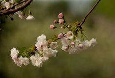 Romantiska Sakura Arkivfoto