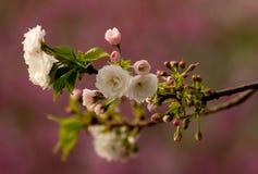 Romantiska Sakura Royaltyfri Fotografi