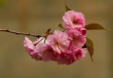 Romantiska Sakura Royaltyfri Foto