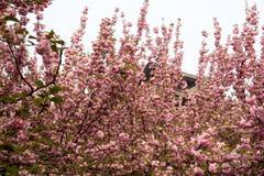 Romantiska Sakura Royaltyfria Foton