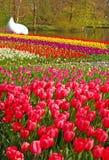 Den olika tulpan färgar i olika rader i Keukenhof Royaltyfria Foton