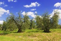 Den olivgröna dungen i den Tuscan bygden Arkivfoton