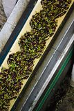 Den olivgröna transportbandet, olivolja maler, Kalamata, Grekland Arkivfoton