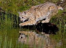 Bobcat Arkivbilder
