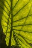 Den omvända sidan av ett tropiskt blad, slut gör sammandrag upp Arkivbild