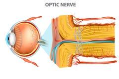 Den optiska nerven royaltyfri illustrationer
