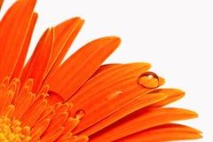 Den orange blomman med vatten tappar närbild Fotografering för Bildbyråer