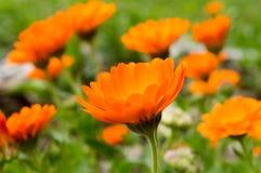 Den orange blomman som omges av gräsplan, lämnar och blommar Fotografering för Bildbyråer