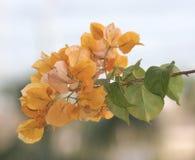 Den orange bougainvillean blommar med suddig bakgrund Arkivfoto