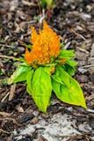 Den orange celosiacristataen på våren Royaltyfri Bild