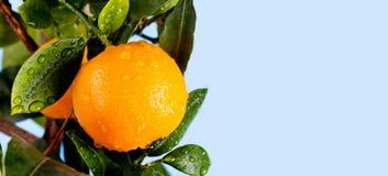 Den orange citrusa mandarinfruktfilialen med vatten tappar på gröna sidor Foto för trädgård för sommartid blå sky för bakgrund Arkivfoto