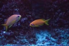 Den orange felika bassleten kallade också havsgoldiePseudanthias squamip royaltyfri fotografi