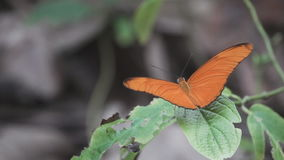 Den orange fjärilen öppnar vingar och startar att flyga i ultrarapid