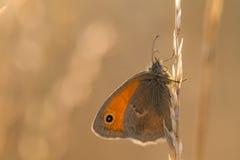 Den orange fjärilen på ett grässtrå på soluppgång Arkivfoton