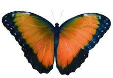 Den orange fjärilen som isoleras på vit bakgrund med spridning, påskyndar royaltyfri fotografi