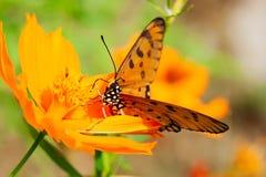 Den orange fjärilen suger blomman Royaltyfri Bild
