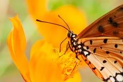 Den orange fjärilen suger blomman Royaltyfria Bilder