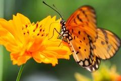 Den orange fjärilen suger blomman Arkivfoto