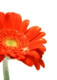 den orange gerberaen single Royaltyfri Fotografi