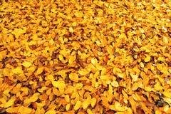 Den orange hösten lämnar Arkivfoto