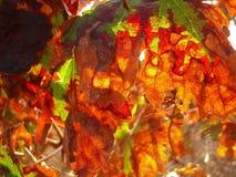 Den orange höstvinrankan lämnar bakbelyst och spindeln web1 Arkivfoton