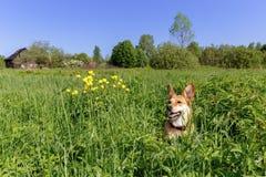 Den orange hunden på en grön äng av guling blommar nära kanten av byn Arkivfoto