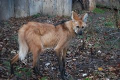 Den orange hyenan ser dig med formidabla och listiga ögon royaltyfri foto