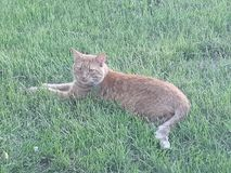 Den orange katten Royaltyfria Bilder