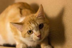 Den orange katten ser med intresse arkivfoton